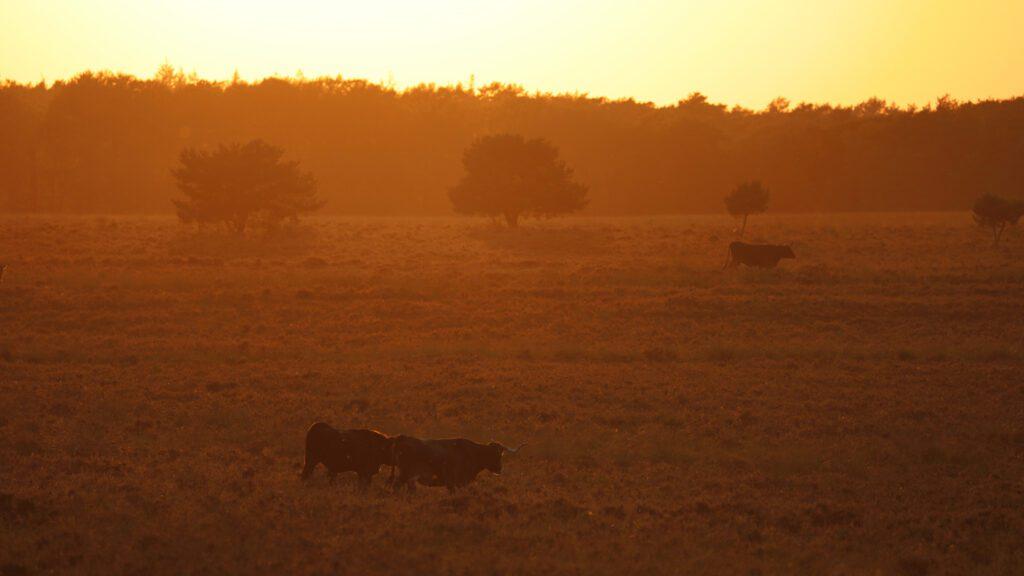 Avondrit bij The Mill Ranch. Op deze foto zie je een zonsondergang bij de Mossel en wilde koeien.  Foto door Jeroen Gommers