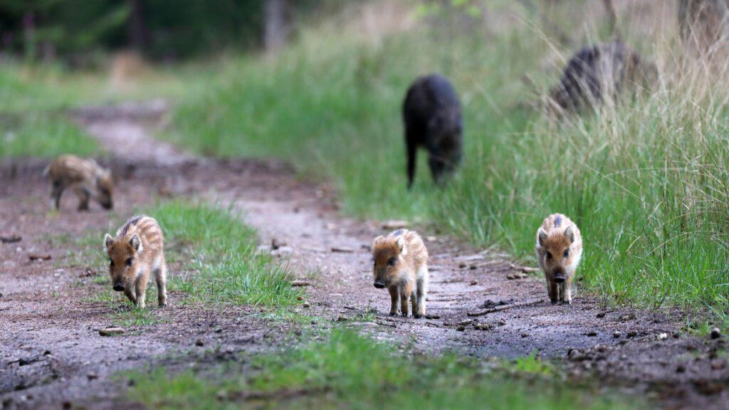 Tijdens een buitenrit bij The Mill Ranch kun je met een beetje geluk wilde zwijnen spotten. Foto door Jeroen Gommers