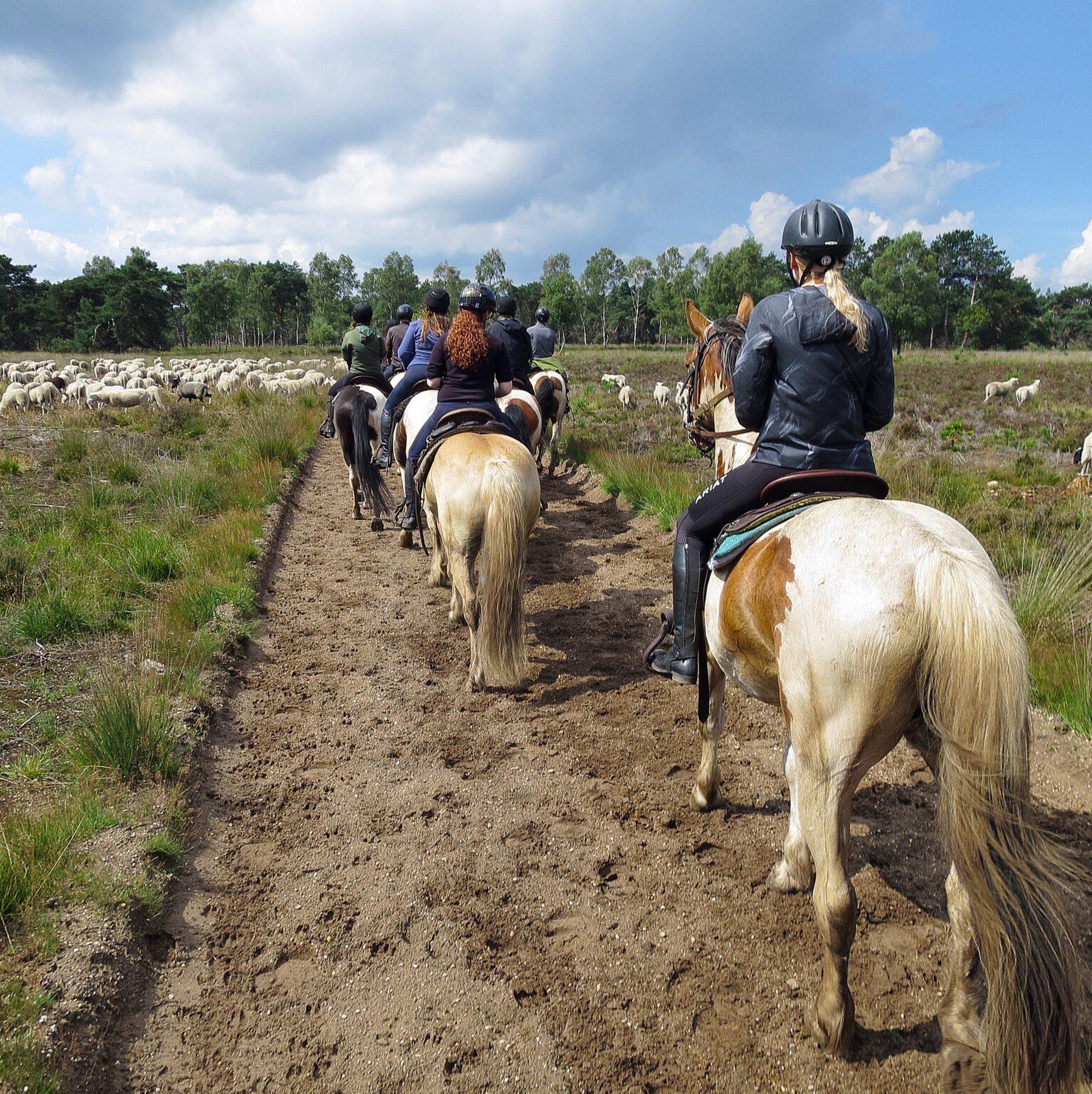 Paardrijden langs een kudde schapen op de Veluwe