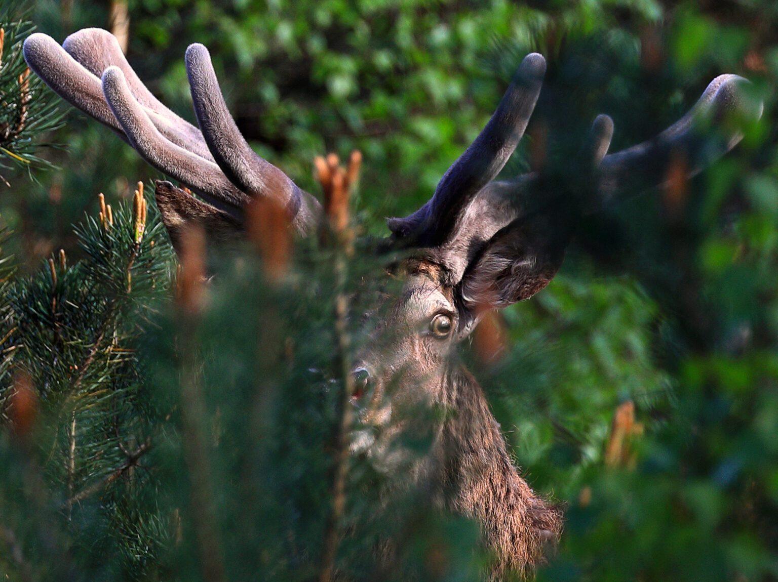 Hert op de Veluwe, foto door Jeroen Gommers